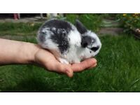 the sweetest ever mini lop baby bunnies looking for loving homes