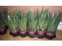 Aloe vera plant each is £6