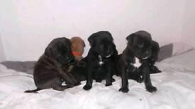 Mastiff pups