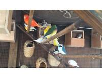 Birds zebra finches canaries for sale URGENT