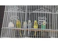 budgies for sale hen and cocks available