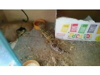 Gecko for sale and tank