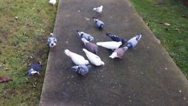 Mixed black and white pigeons
