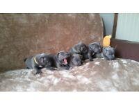 stunning kc reg blue staff pups ready to go 3 LEFT