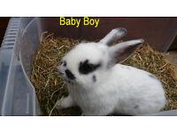 Shorthaired Lionhead cross Netherland dwarf rabbit