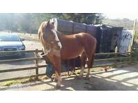 Flashy 16hh ISH mare FOR SALE