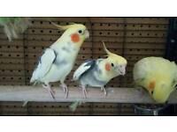 Cockatiels & cage