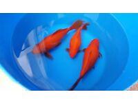 "6-10"" goldfish including fan tail goldfish"