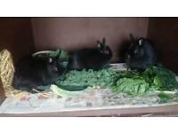 Dutch Dwarf Rabbits