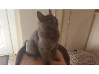 British blue Kitten pedigree for sale