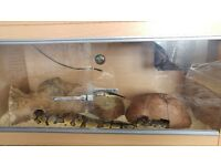 adult royal pythons