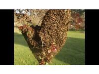 Honey Bees Swarm - Lost bees