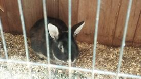 two female rabbits and hutch must go together