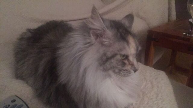 Maine coons 2 beautiful, one red one silver 3 and 5 years old  Loving  temperaments   Genuine sale | in Rossendale, Lancashire | Gumtree