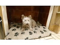 2 Westies to be homed together