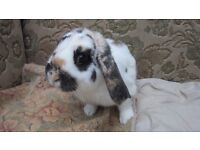 Super male lop rabbit tri-coloured 4 months old. Part of ear missing