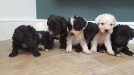 Spanish water dog puppies