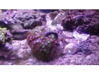 top range zoanthids each 25/35 heads each ( ONLY 1 LEFT )