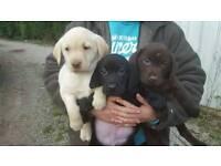 Chunkie labrador puppies