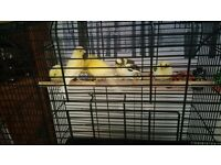 Canarys For sale with cage
