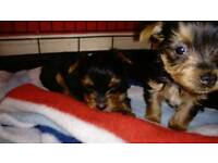 Yorkshire terrier Yorkie puppies
