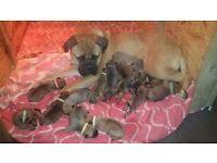 Kc bullmastiff puppys