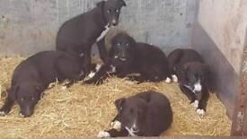Lurcher pups Add updated!!