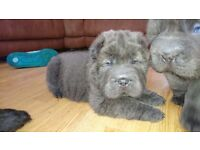 Stunning bearcoat shar-pei girls