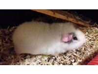 2 male guinea pigs and double indoor cage for sale