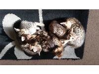 Rare,Stunning Bengal X Kittens