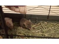 Cute Baby Rats For Sale (Ready to go to good homes now!)