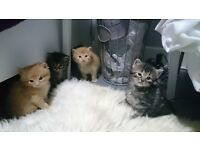 Lovely fluffy kittens for sale