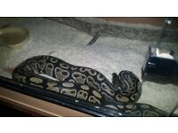 Royal python and vivarium
