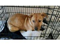 Labrador x Rottweiler Pup!