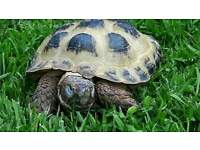 Horsefield Tortoise and box etc for sale