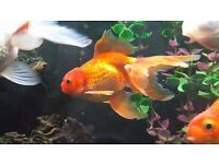 Oranda Fancy Goldfish