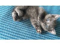 Beautiful Blue Kittens for Sale!