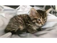 Tabby kitten male