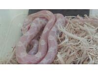 Male Snow Corn Snake