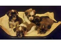 Full breed lhasa apso puppies