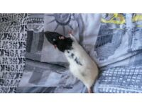 All 4 baby pet rat for £10