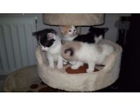 ADORABLE GORGEOUS FLUFFY KITTENS FOR SALE (Part Persian & Part Ragdoll & Mixed Breed Long haired)