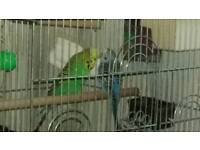 Two budgies with cage