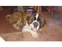 Pedigree St Bernard Male