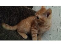 fluffy ginger male kitten, very friendly, litter trained, play with children
