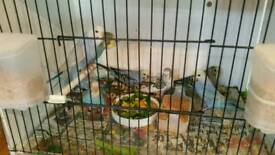 Baby budgies maltby s66