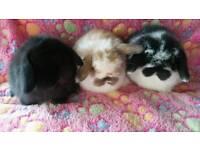 Pure breed mini lop baby rabbits