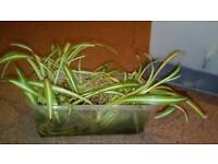 8 bare root medium spider plants, with free pot.
