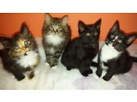 for sale nice kitten 3 months old 3 boy 1 girl £40 each