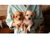 Puppys for sale 9 weeks